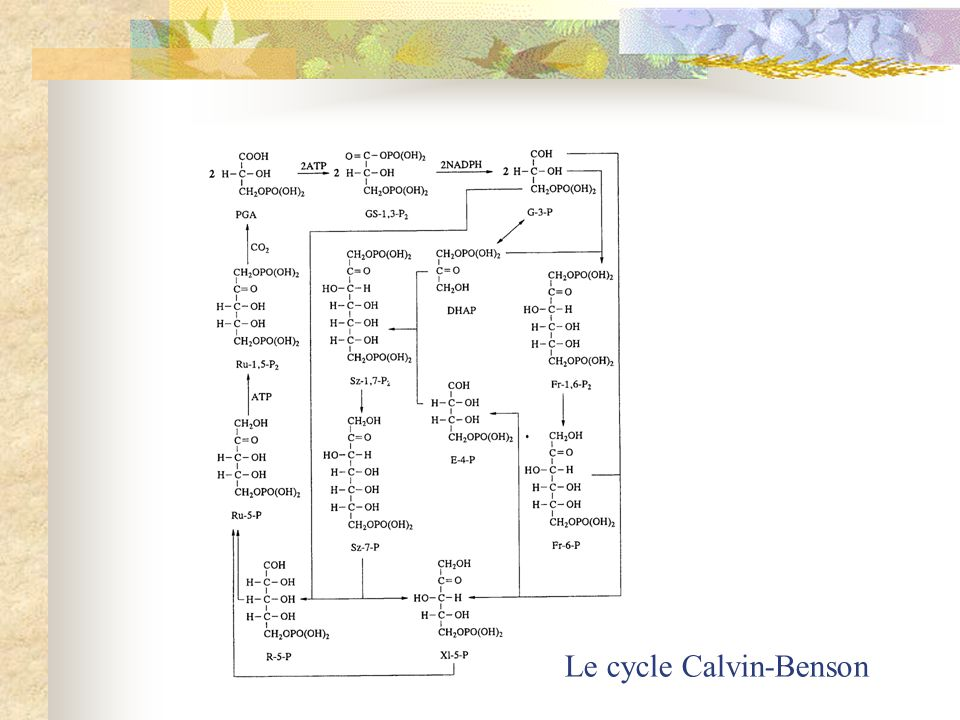 Le cycle Calvin-Benson