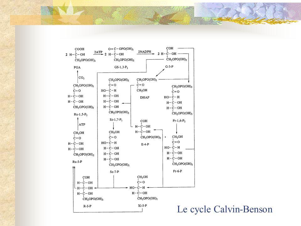 Le cycle Calvin-Benson