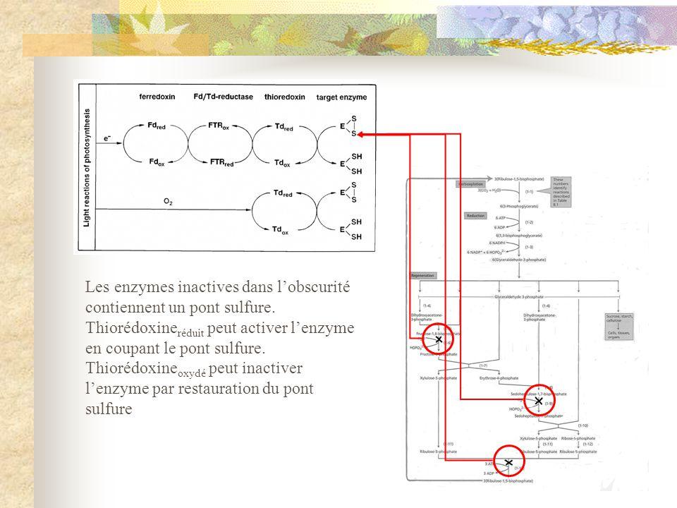 Les enzymes inactives dans l'obscurité contiennent un pont sulfure