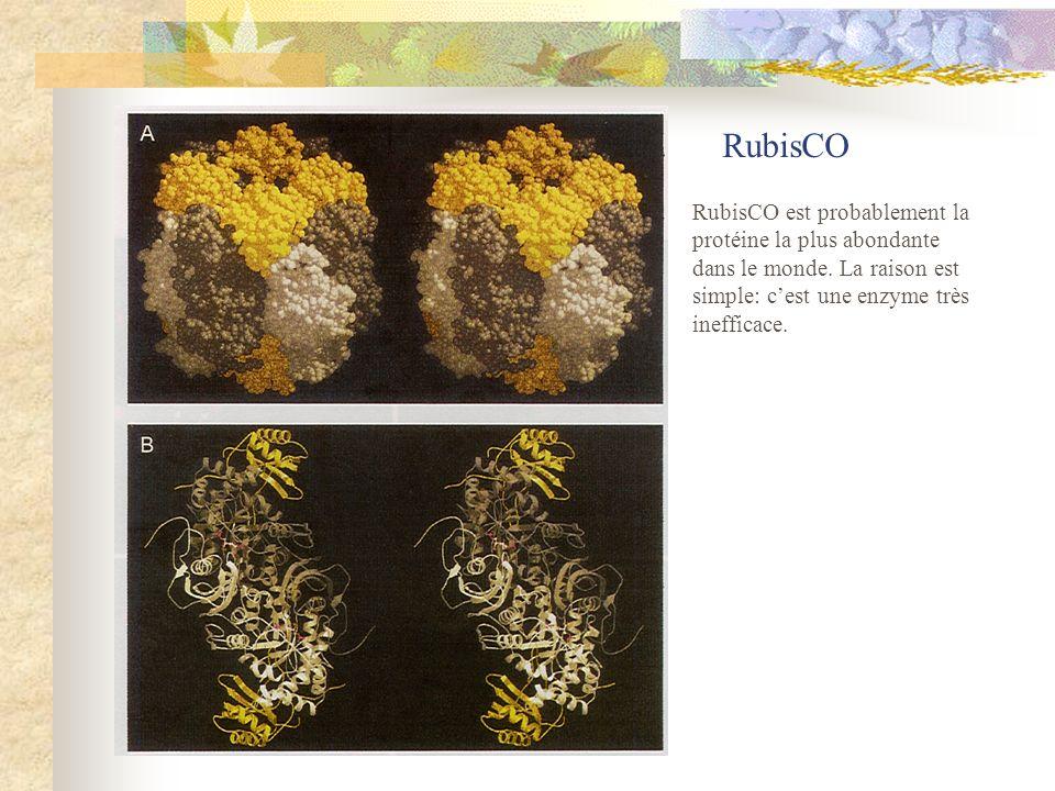 RubisCO RubisCO est probablement la protéine la plus abondante dans le monde.