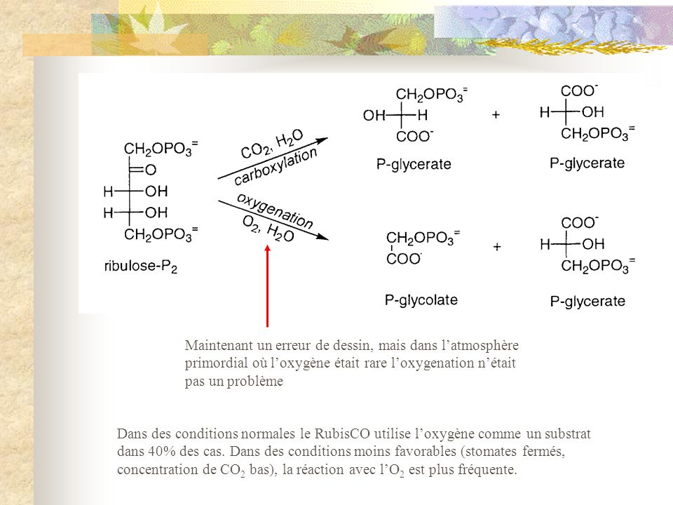 Dans des conditions normales le RubisCO utilise l'oxygène comme un substrat dans 40% des cas. Dans des conditions moins favorables (stomates fermés, concentration de CO2 bas), la réaction avec l'O2 est plus fréquente.