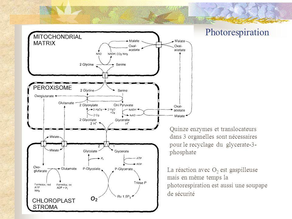 Photorespiration La réaction avec O2 est gaspilleuse mais en même temps la photorespiration est aussi une soupape de sécurité.
