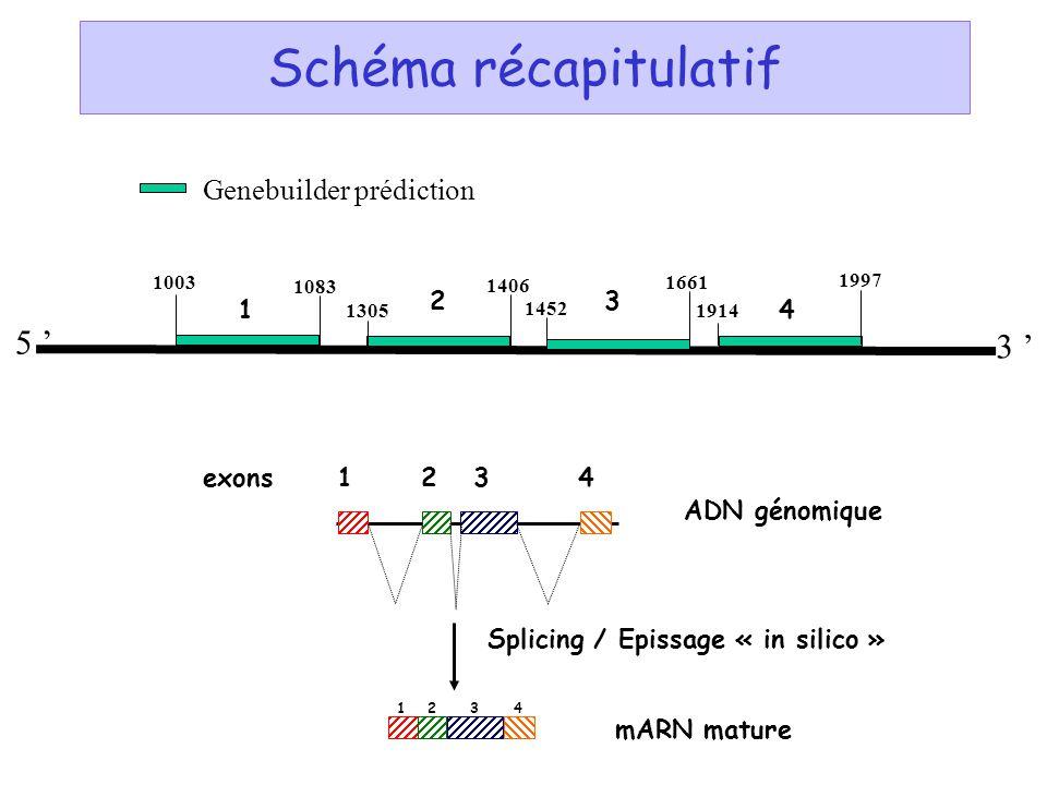 Schéma récapitulatif 5 ' 3 ' Genebuilder prédiction 2 3 1 4 exons 1 2