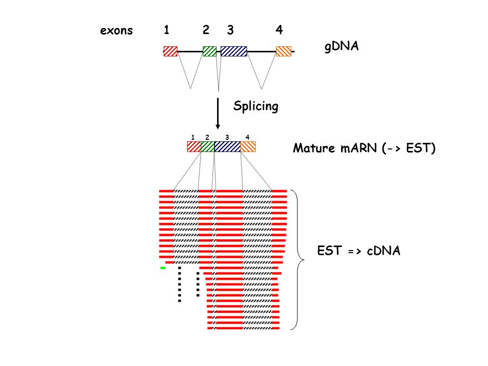 Mature mARN (-> EST)