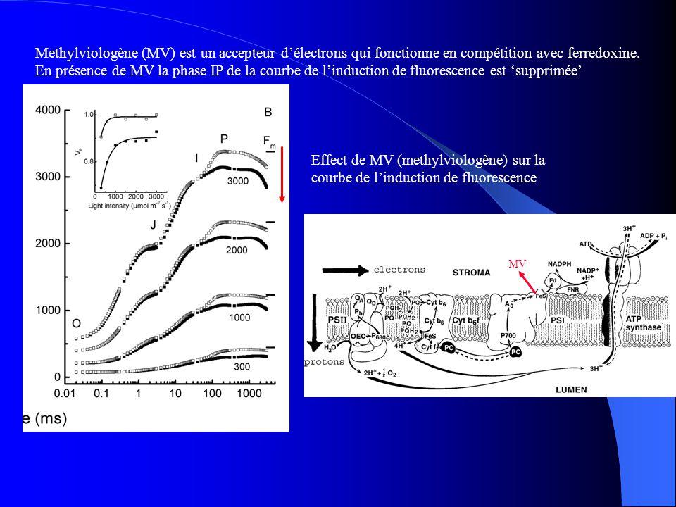 Methylviologène (MV) est un accepteur d'électrons qui fonctionne en compétition avec ferredoxine. En présence de MV la phase IP de la courbe de l'induction de fluorescence est 'supprimée'