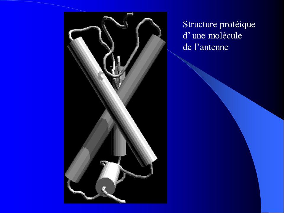 Structure protéique d' une molécule de l'antenne
