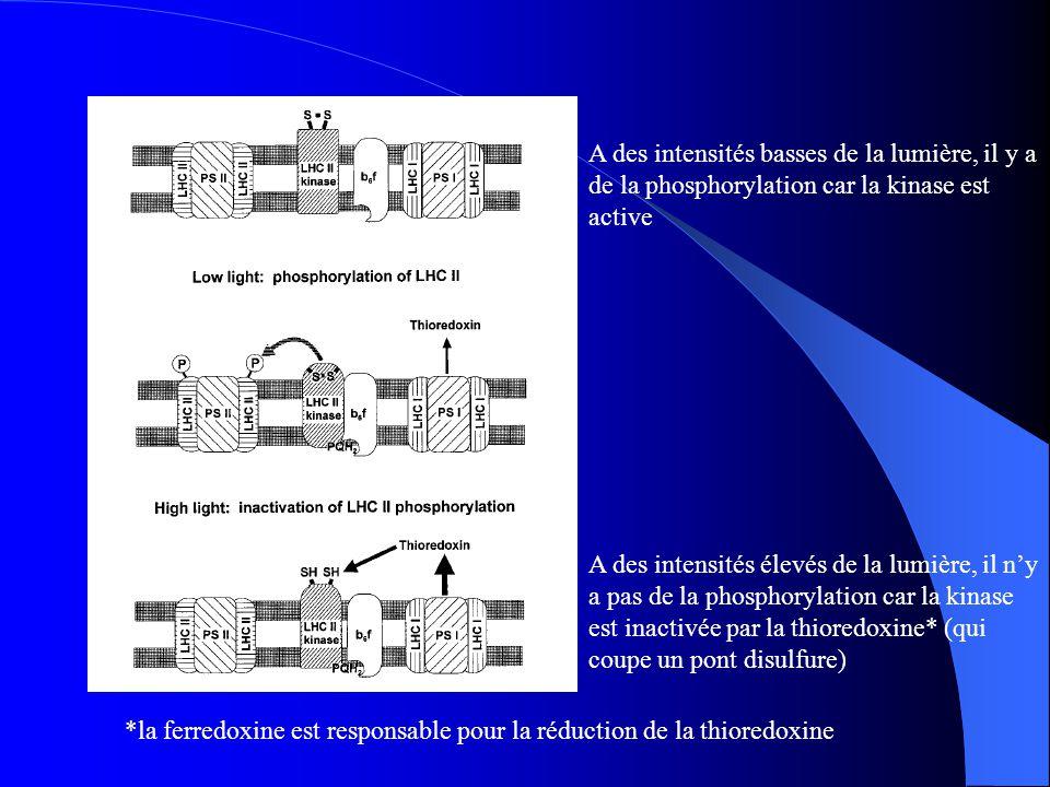 A des intensités basses de la lumière, il y a de la phosphorylation car la kinase est active