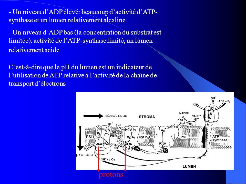 - Un niveau d'ADP élevé: beaucoup d'activité d'ATP-synthase et un lumen relativement alcaline