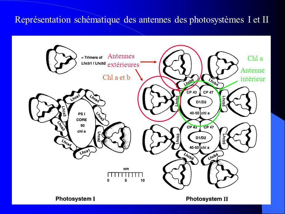 Représentation schématique des antennes des photosystèmes I et II