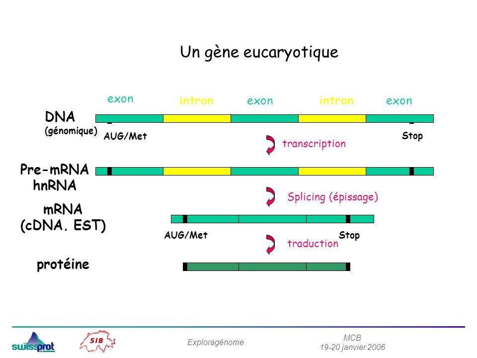 Un gène eucaryotique transcription DNA Pre-mRNA hnRNA mRNA (cDNA, EST)