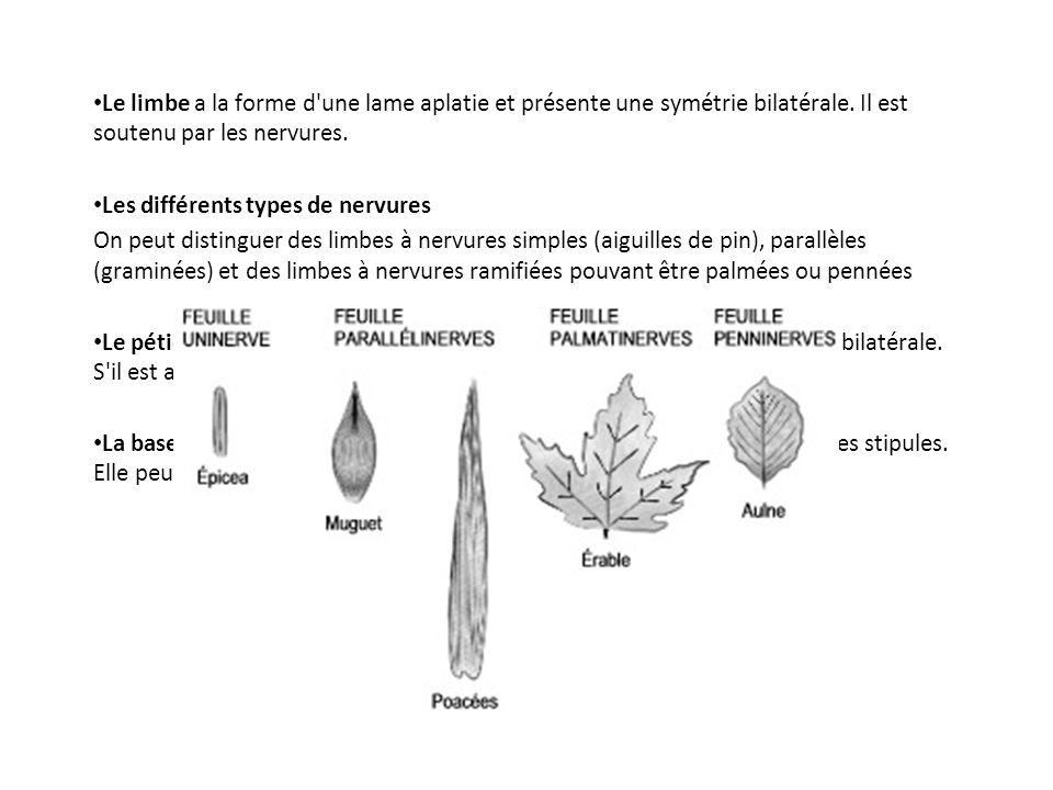Le limbe a la forme d une lame aplatie et présente une symétrie bilatérale. Il est soutenu par les nervures.