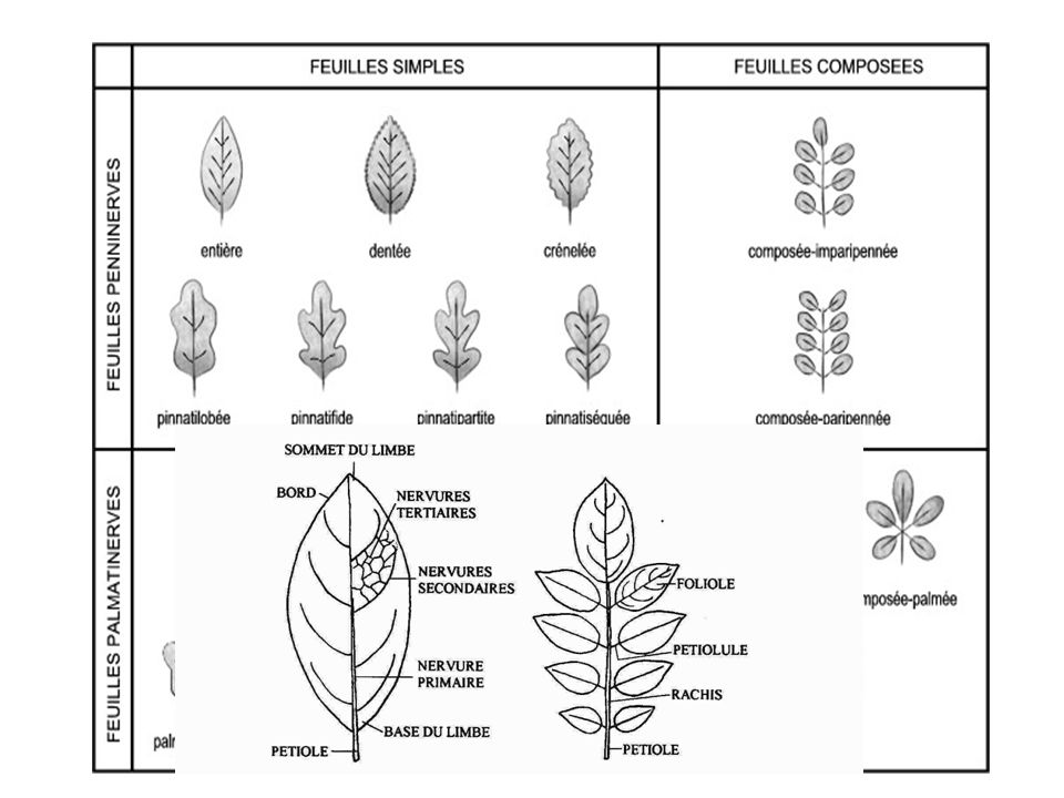 c. Classification des feuilles