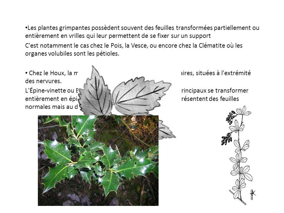 Les plantes grimpantes possèdent souvent des feuilles transformées partiellement ou entièrement en vrilles qui leur permettent de se fixer sur un support