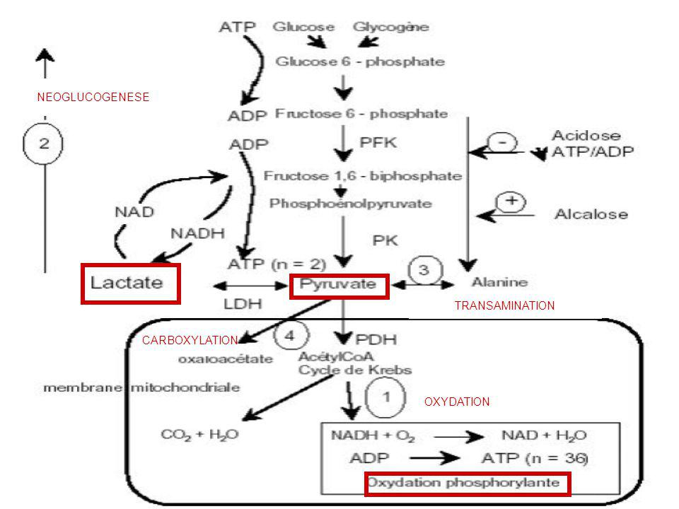 NEOGLUCOGENESE TRANSAMINATION CARBOXYLATION OXYDATION