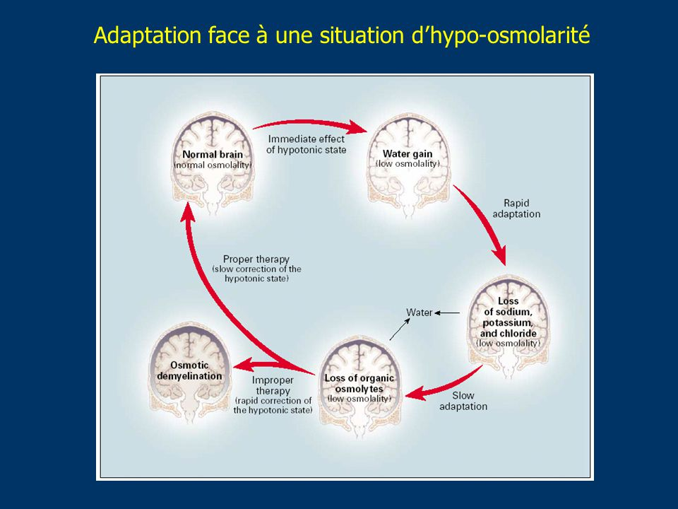 Adaptation face à une situation d'hypo-osmolarité