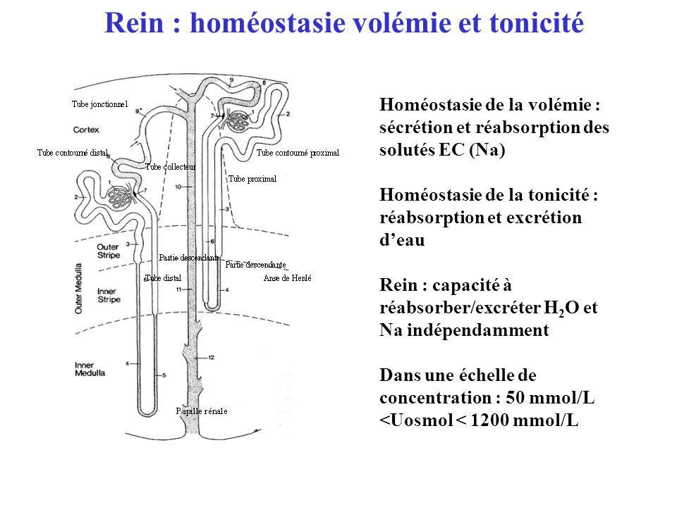 Rein : homéostasie volémie et tonicité