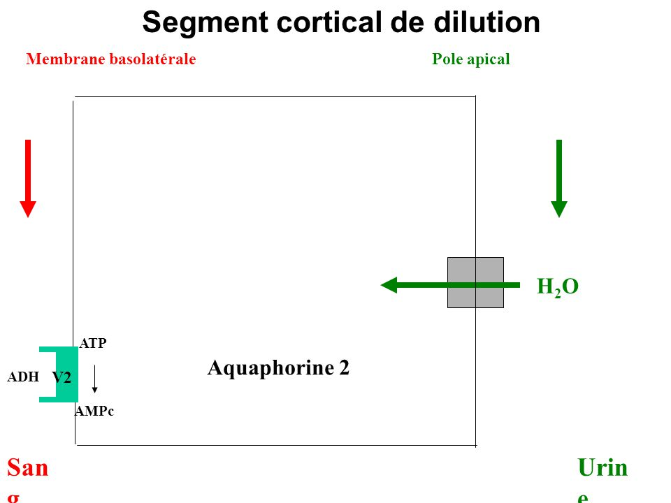 Segment cortical de dilution