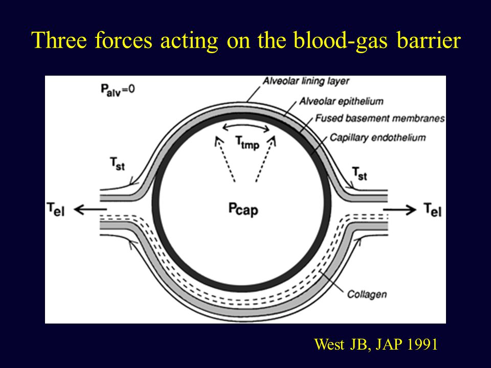 Three forces acting on the blood-gas barrier