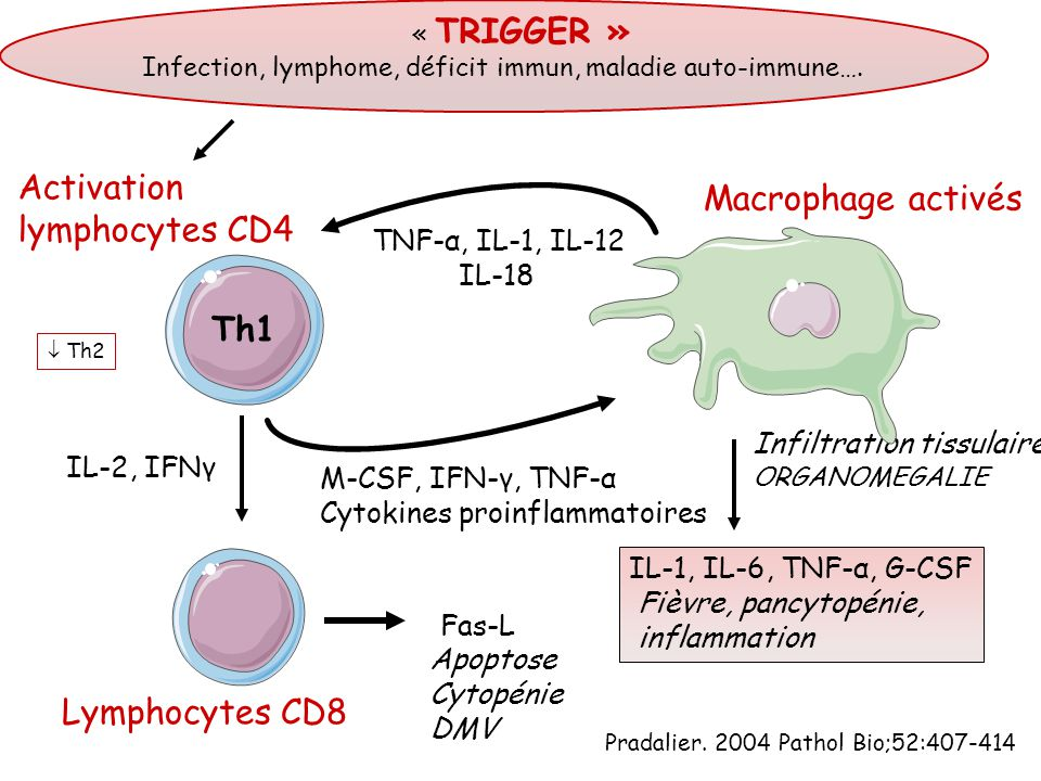Activation Macrophage activés lymphocytes CD4 Th1 Lymphocytes CD8