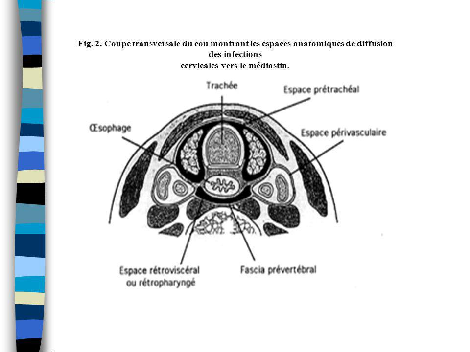 cervicales vers le médiastin.