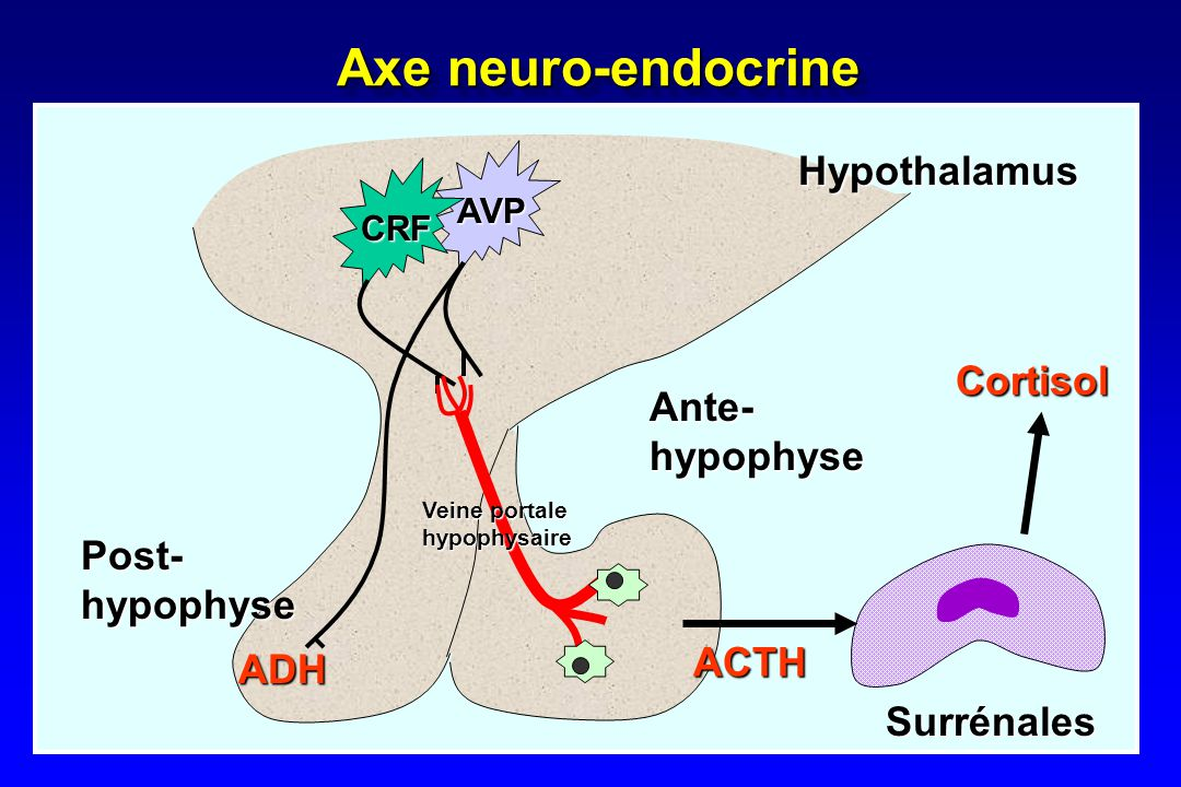 Axe neuro-endocrine Hypothalamus