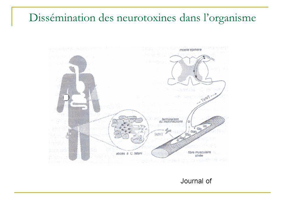 Dissémination des neurotoxines dans l'organisme