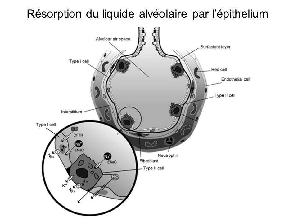 Résorption du liquide alvéolaire par l'épithelium