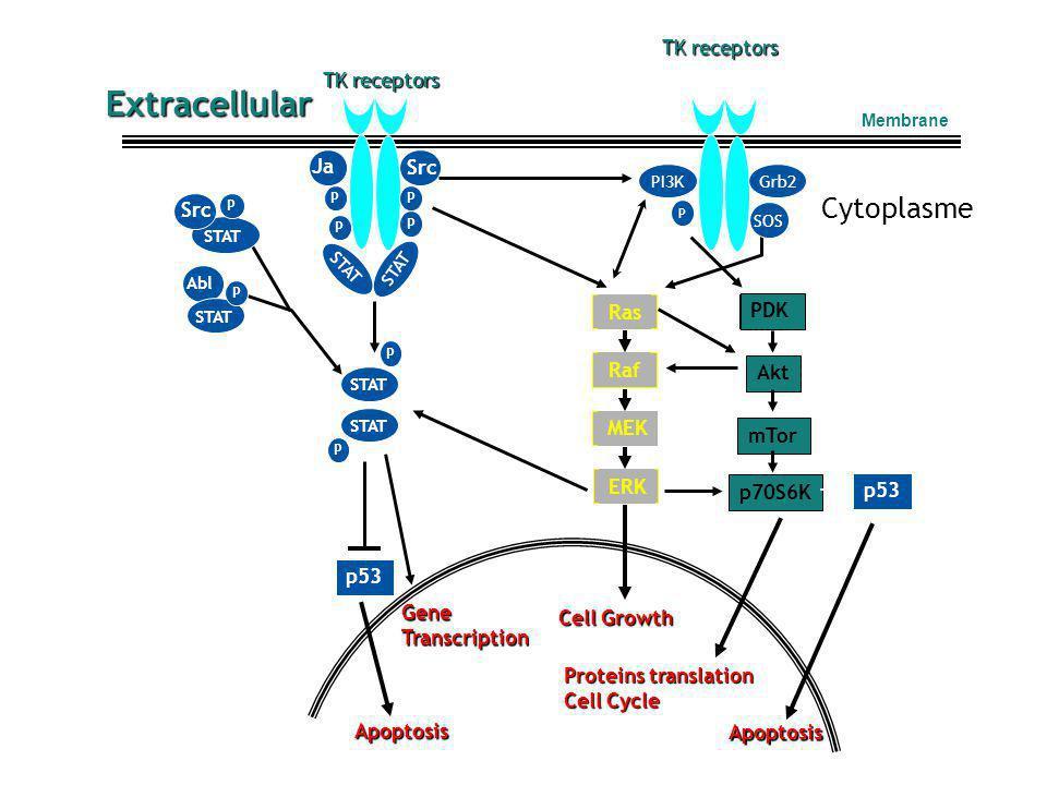 Extracellular Cytoplasme TK receptors TK receptors Jak Src Src Ras PDK