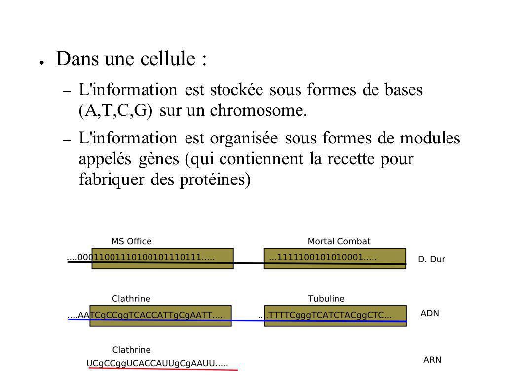 Dans une cellule : L information est stockée sous formes de bases (A,T,C,G) sur un chromosome.