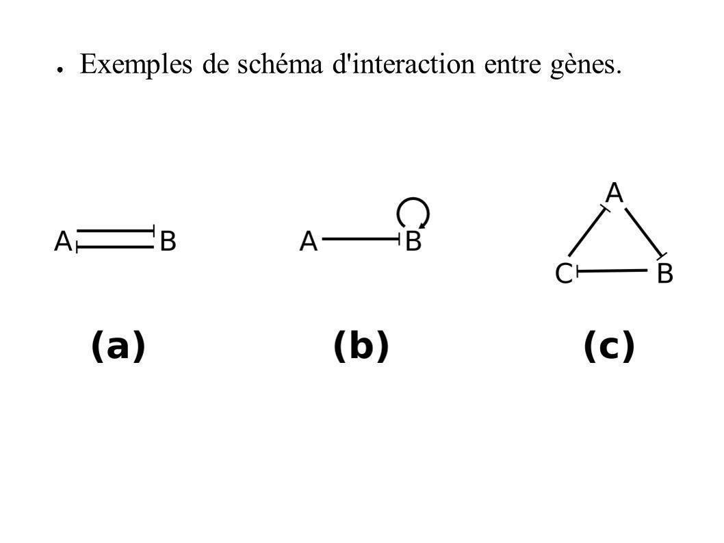 Exemples de schéma d interaction entre gènes.