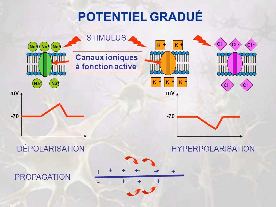 POTENTIEL GRADUÉ STIMULUS Canaux ioniques à fonction active