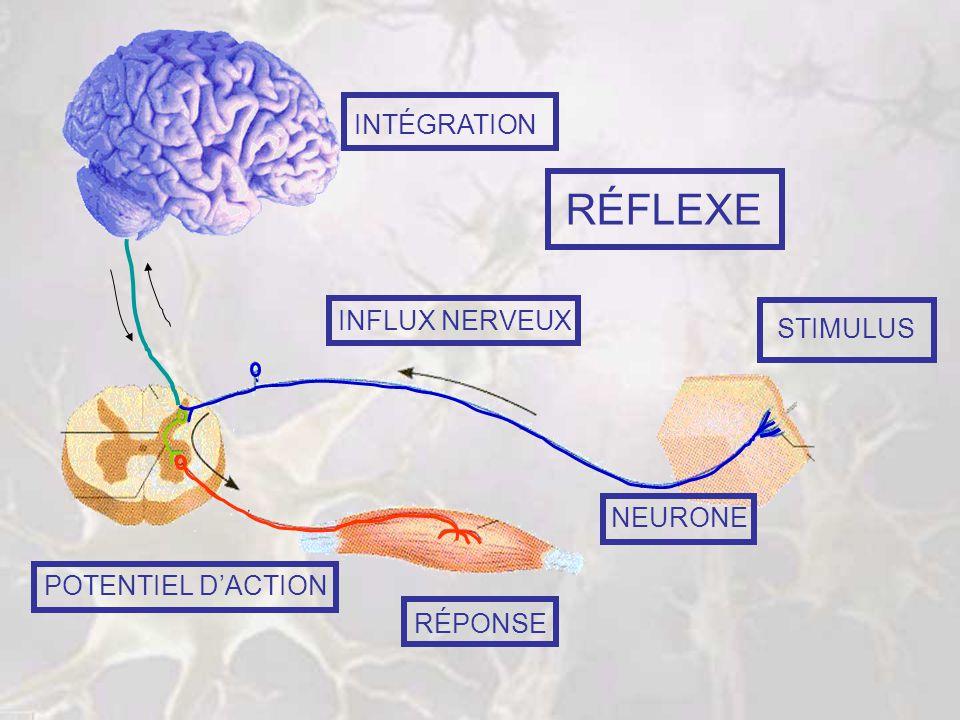 RÉFLEXE INTÉGRATION INFLUX NERVEUX STIMULUS NEURONE POTENTIEL D'ACTION