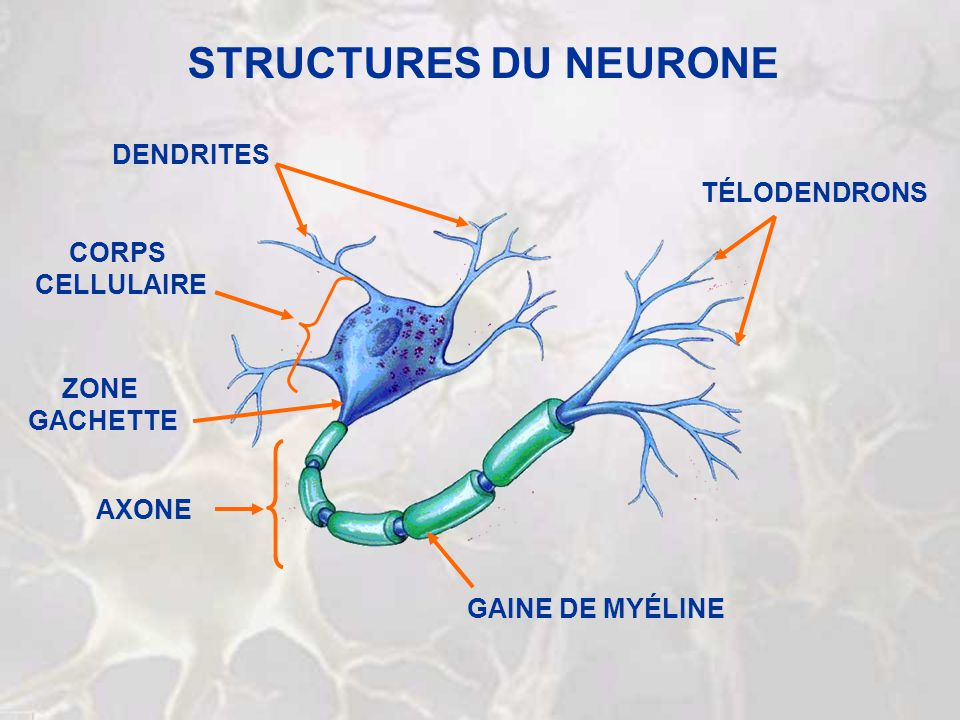STRUCTURES DU NEURONE DENDRITES TÉLODENDRONS CORPS CELLULAIRE ZONE