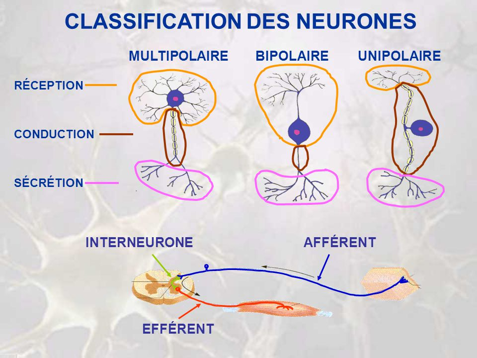 CLASSIFICATION DES NEURONES