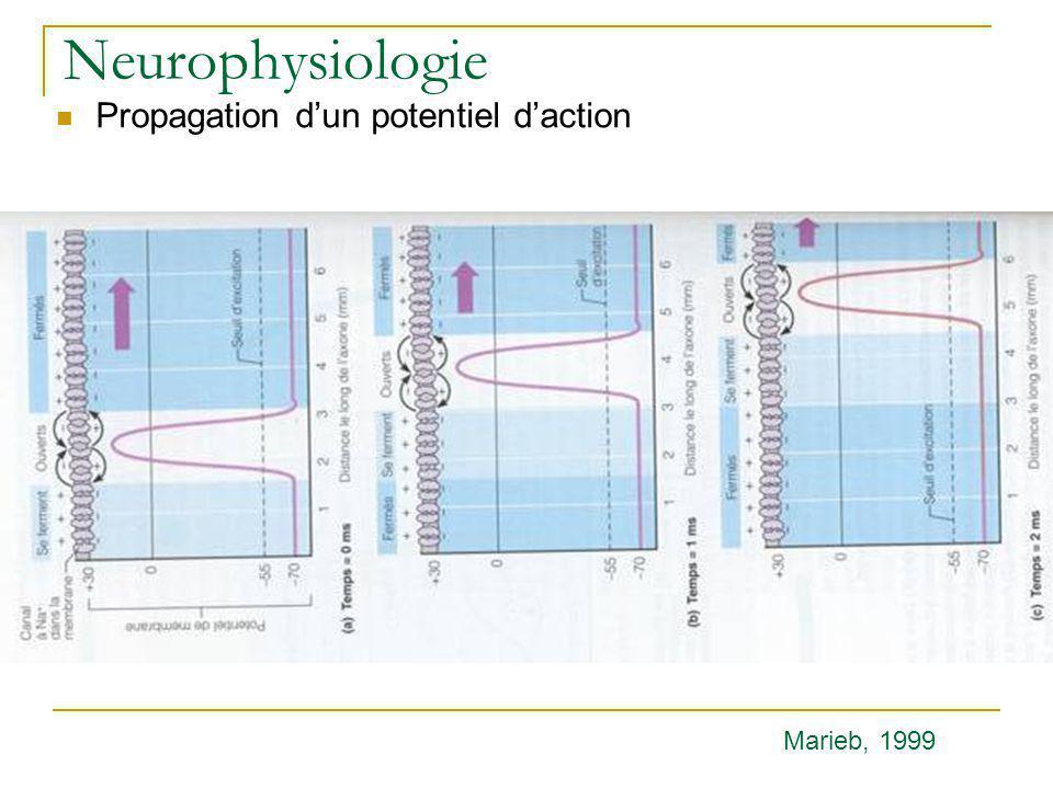 Neurophysiologie Propagation d'un potentiel d'action Marieb, 1999