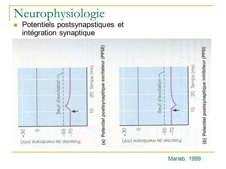Neurophysiologie Potentiels postsynapstiques et intégration synaptique