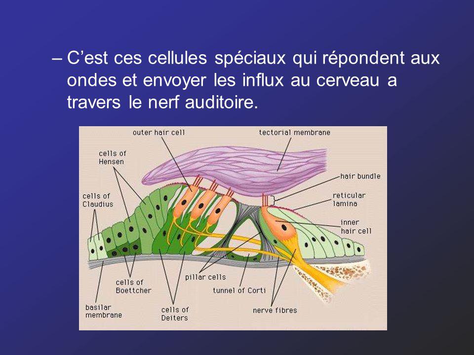 C'est ces cellules spéciaux qui répondent aux ondes et envoyer les influx au cerveau a travers le nerf auditoire.