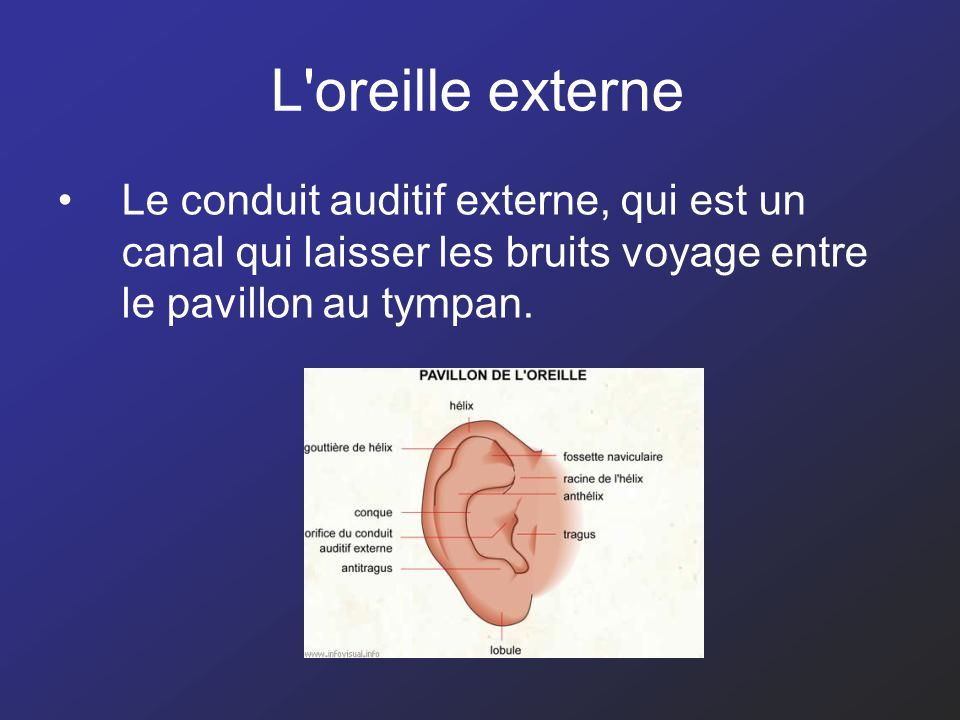 L oreille externe Le conduit auditif externe, qui est un canal qui laisser les bruits voyage entre le pavillon au tympan.