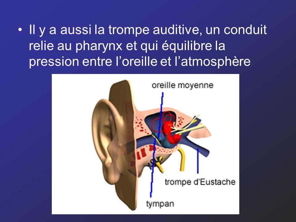 Il y a aussi la trompe auditive, un conduit relie au pharynx et qui équilibre la pression entre l'oreille et l'atmosphère