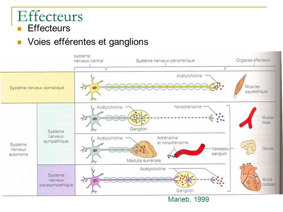 Effecteurs Effecteurs Voies efférentes et ganglions Marieb, 1999
