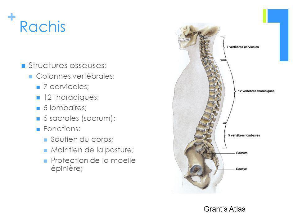 Rachis Structures osseuses: Colonnes vertébrales: 7 cervicales;