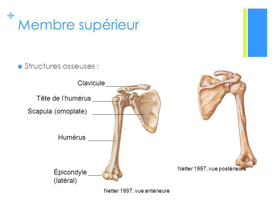 Membre supérieur Structures osseuses : Clavicule Tête de l'humérus