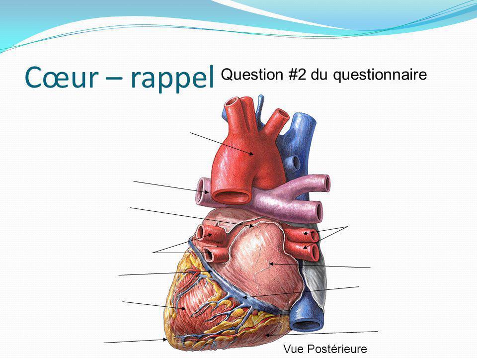 Cœur – rappel Question #2 du questionnaire Vue Postérieure