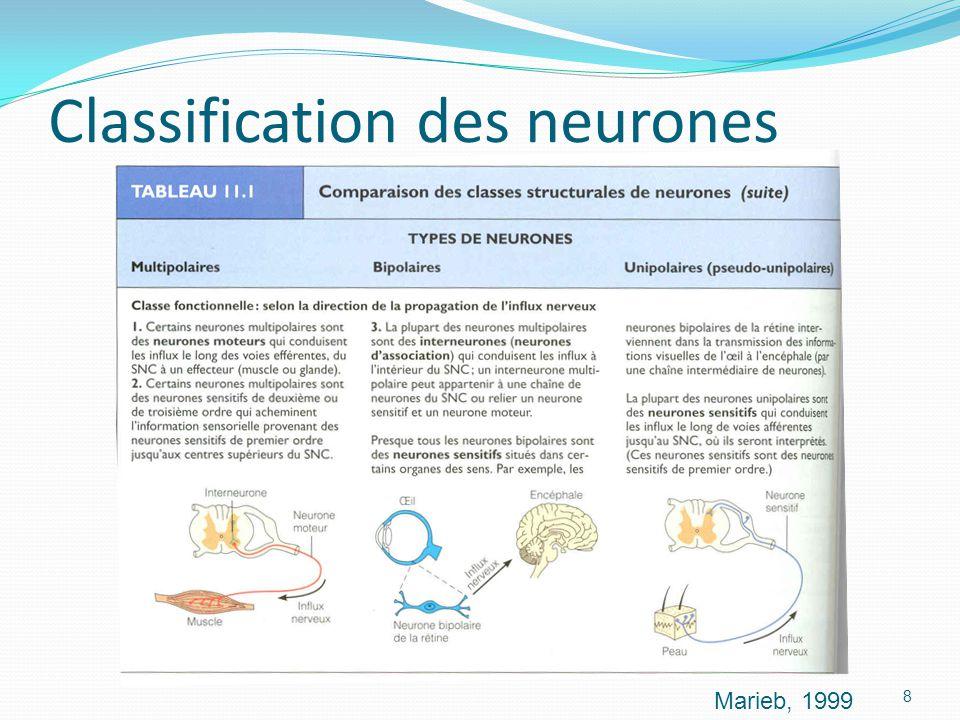 Classification des neurones