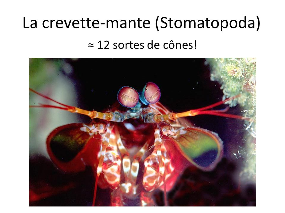 La crevette-mante (Stomatopoda)