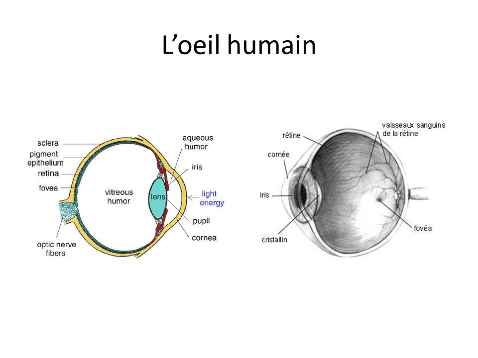 L'oeil humain