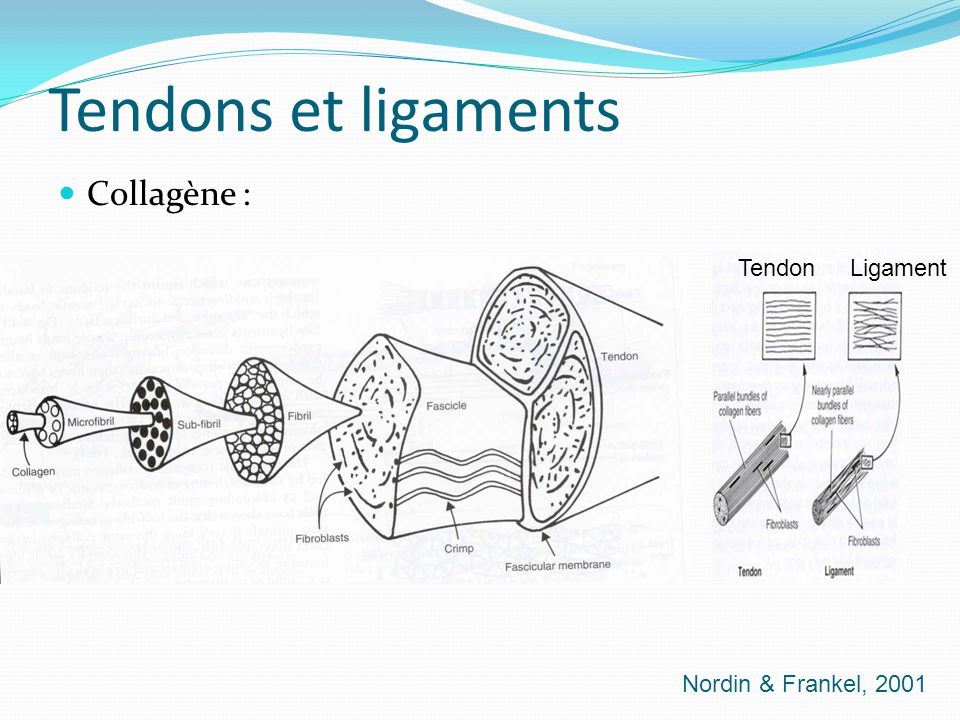 Tendons et ligaments Collagène : Tendon Ligament