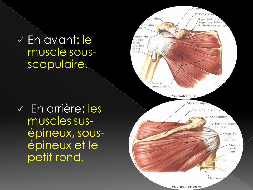 En avant: le muscle sous-scapulaire.