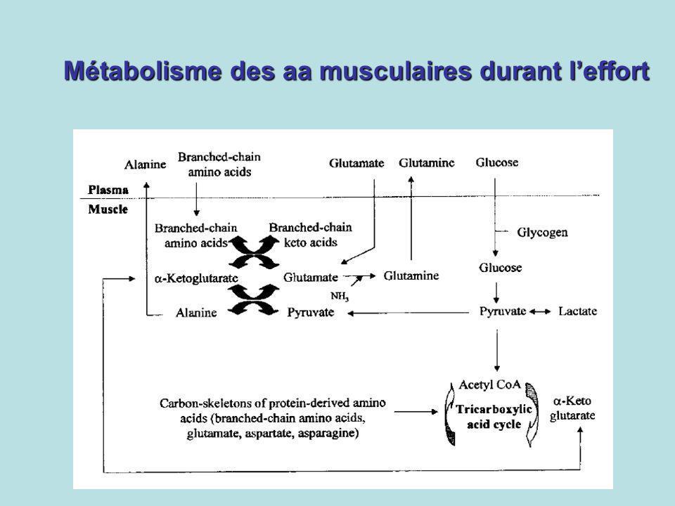 Métabolisme des aa musculaires durant l'effort