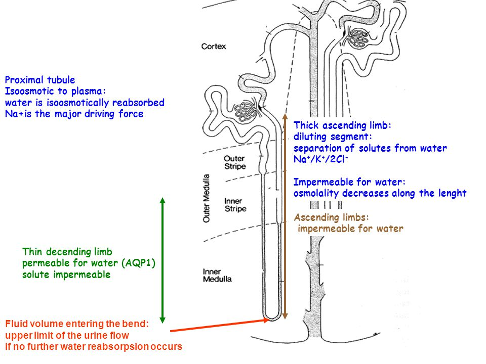 Proximal tubule Isoosmotic to plasma: water is isoosmotically reabsorbed. Na+is the major driving force.